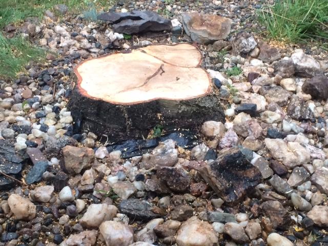 Birch Tree 4